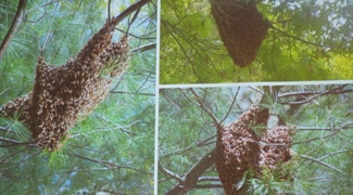Simulating the Mechanics of Honeybee Swarm Behavior